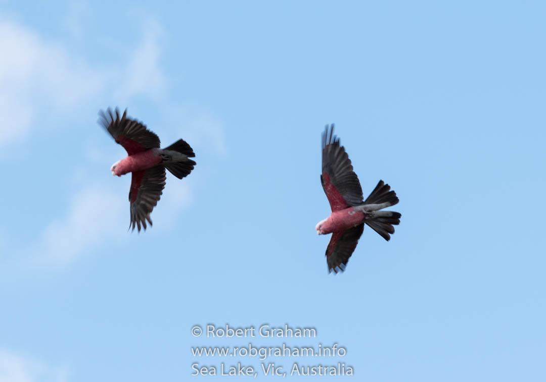 Galah's in Flight