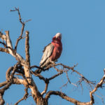 Galah watching me on the 2-2