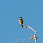 Galah and Rainbow bee eater watching me