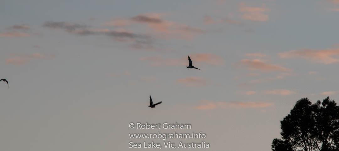 Galahs in Sihouette