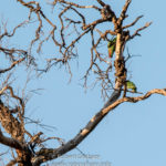Musk Lorikeet & Unknown