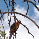 Rosella in the Almond Tree
