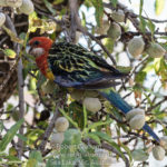 Rosella moving to find a new Nut to eat