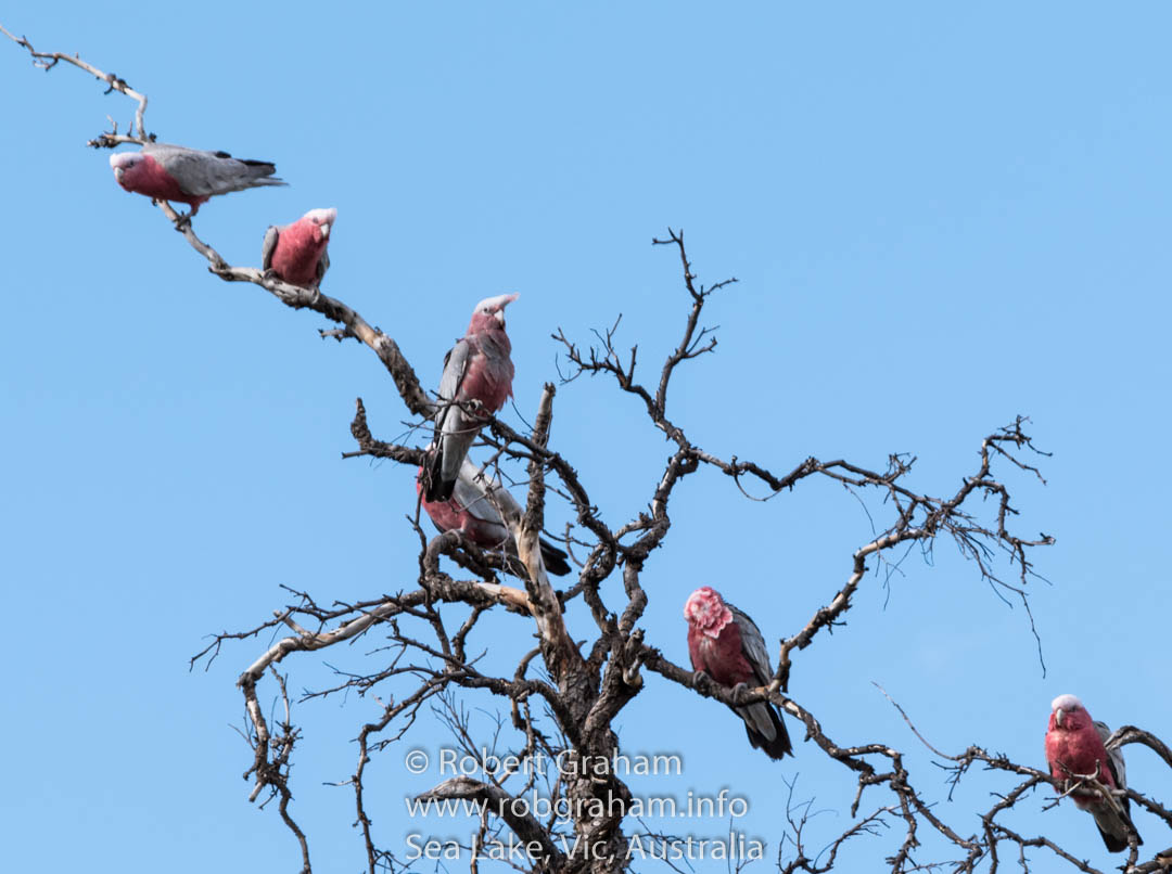 Donald the Galah