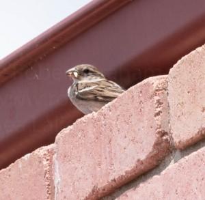 Sparrow-1-1-2017-001